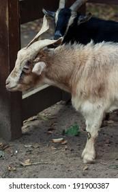 beige goat in zoo