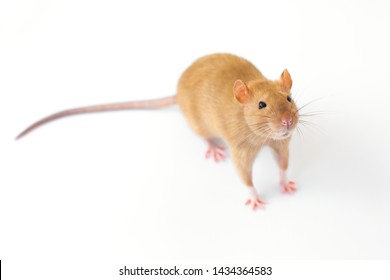 A beige golden decorative rat stands amusingly on a white isolated background and looks interested
