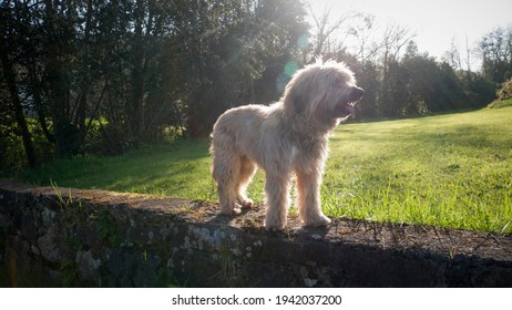 Beige hairy dog standing in a stone wall
