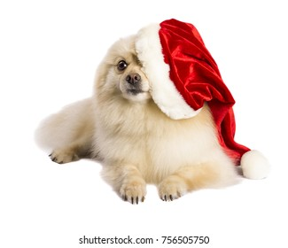 Beige happy pomeranian dog with red santa claus hat, on white background