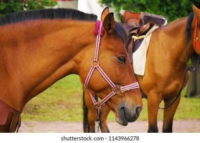 Beige horse with dark mane.