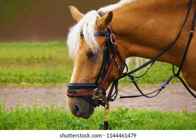 Beige horse with light mane.
