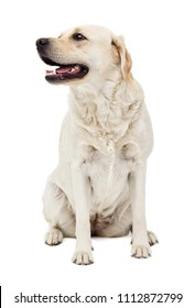 beige labrador dog in full growth on a white background