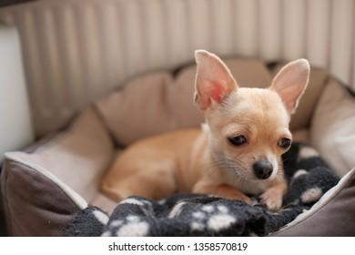 Beige mini chihuahua dog