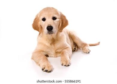 Beige puppy Labrador (isolated on white)