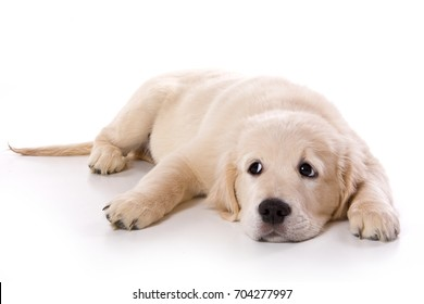 Beige puppy Labrador (isolated on white)