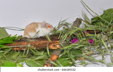 Campbell Dwarf Hamster Images Stock Photos Vectors