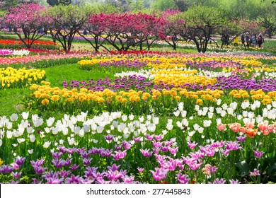 Beijing Botanical Garden tulip flowers