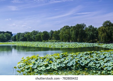 Beijing Yuanmingyuan lotus pond landscape