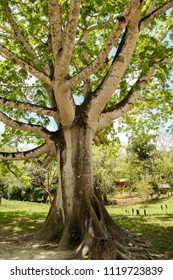 Being Guatemalan national tree, the Ceiba is a native tropical and subtropical tree. This one is located on the National Park of Tikal.