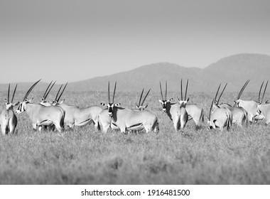 Beisa East African Oryx, Lewa Wildlife Conservancy, Kenya