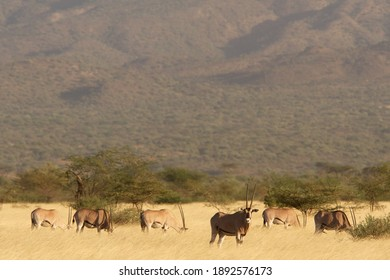 Beisa Oryx in Awash National Park in Ethiopia