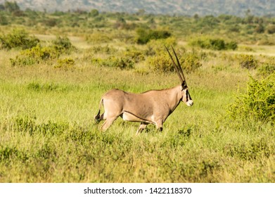 Beisa Oryx at Samburu National Reserve. A lone beisa oryx in the Savannah Grassland against a mountain background at Samburu National Reserve, Kenya nature