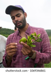 Bejuma, Carabobo/Venezuela-04/08/2017: Researcher examines a citrus tree heavily infected with HLB huanglongbing citrus greening in an orchard