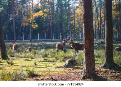 Belarus, Belovezhskaya Pushcha, October 25, 2015: Deer in the forest