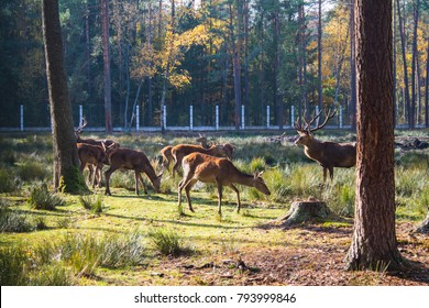 Belarus, Belovezhskaya Pushcha, October 25, 2015: Deer in the fo