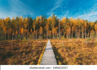 Belarus, Berezinsky Biosphere Reserve. Wooden path way pathway from marsh swamp to forest In Autumn Sunny Day. Autumn Peaceful Landscape.