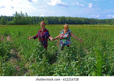 Belarus, Bobruisk district, Podjasenka village, July 15, 2016: Two women in the field raise their hands to the sides