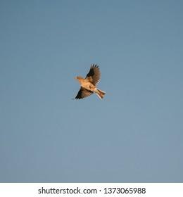Belarus. Eurasian Skylark - Alauda Arvensis Flying In Spring Sky. The Eurasian Skylark Is A Passerine Bird In The Lark Family Alaudidae.