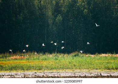 Belarus. Flock Wild Birds Great Egrets Or Ardea Alba Flying Above Swamp. This Wild Birds Also Known As The Common Egret, Large Egret, Or Great White Egret Or Great White Heron.