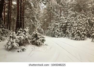 Belarus, Grodno, Snowy fairy forest around Molochnoe Lake
