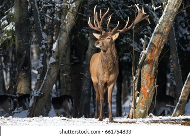 Belarus. Winter Wildlife Landscape With Great Noble Deer (Cervus elaphus). Magnificent Deer On The Edge Of Winter Forest. Deer Breathing Fresh Air. Beautiful Stag Close-Up, Artistic View. Trophy Stag