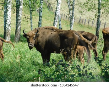 Belarusian bison in the forest