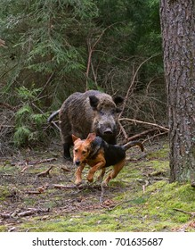 Belarusian Gonchak hound, a National dog breed of Belarus,  hunting on wild boar in green forest