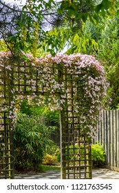 Belautiful pink clematic montana clmbing on wooden trellis in an old beautiful garden