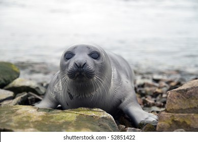 Belek baby harp seal Pagophilus groenlandicus in the White Sea, Gulf Kandalakshskom