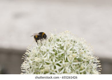 Belfast City Hall, 24th May 2017. Bee in a White Allium Mount Everest in the  Flowers in the grounds of Belfast City Hall
