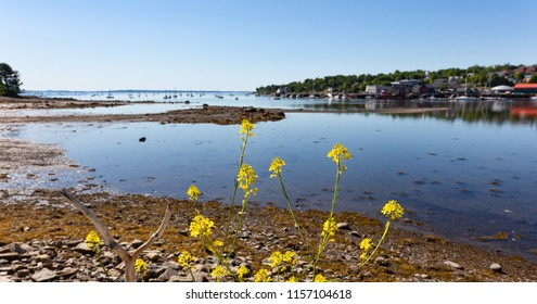 Belfast, Maine harbor at low tide on a bright summer day with sailboats at their moorings in the distance and yellow wildflowers in the foreground.