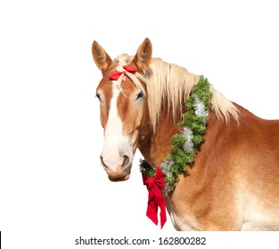Belgian Draft horse with a Christmas wreath looking proudly at the viewer; isolated on white background