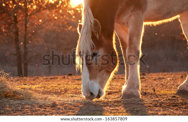 belgian-draft-horse-nibbling-on-600w-163