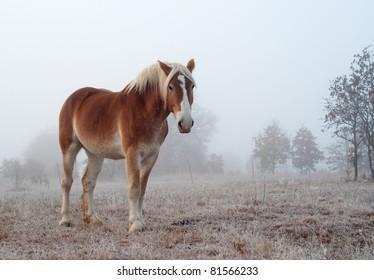 Belgian draft horse on a foggy, frosty winter morning