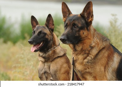 Belgian and German Shepherd
