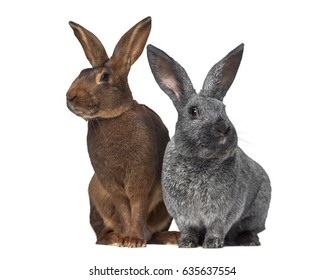 Belgian Hare and Argente rabbit isolated on white