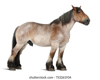 Belgian horse, Brabanâ??Ã?on, 16 years old, standing in front of white background
