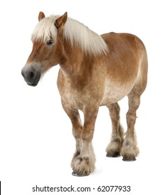 Belgian horse, Belgian Heavy Horse, Brabancon, a draft horse breed, 10 years old, standing in front of white background
