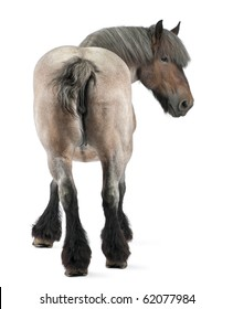 Belgian horse, Belgian Heavy Horse, Brabancon, a draft horse breed, 11 years old, standing in front of white background