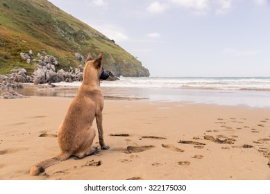 Belgian Malinois dog sitting in the beach, sunny day