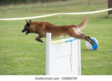 Belgian malinois jumping over a fence