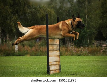Belgian malinois jumping over a wooden obedience obstacle - Shutterstock ID 1501811993