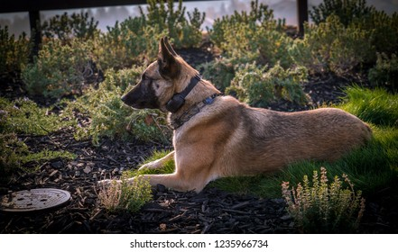 Belgian Malinois K9 Working Dog