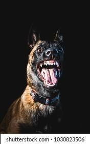 Belgian malinois killer