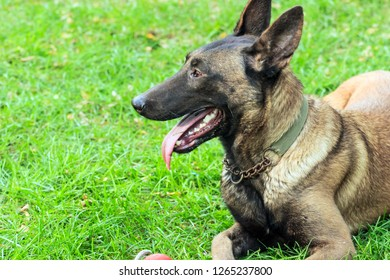 Belgian Malinois, often used to train a police dog