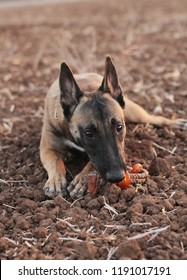 Belgian Malinois purebred dog, resting on the ground with a toy.