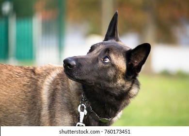 the Belgian Malinois shepherd dog listens well to his master's orders