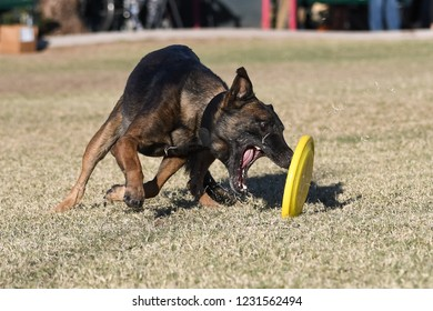 Belgian Malinois trying to grab a disc