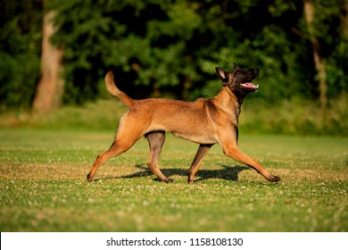 belgian malinois walking and smiling portrait in green background, sunlight, beautiful coloured dog coat and black mask on head and tongue and high tail wagging